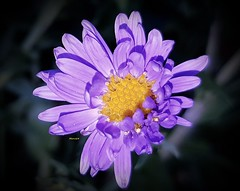 Aster (Marvinette (passe en free)) Tags: august août flore fleur fleurs flower flowers france macro plant plants plante jardin garden limousin hautevienne aimezvouslesfleurs androïd summer smartphone été nature mauve purple rose pink fondnoir blackbackground yellow jaune nuit night aster