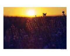 (david Ramalleira) Tags: davidramalleira davidramalleiraphotography nikon nature naturaleza natureart naturephotography naturesfinest naturesart natura lavanda spring primavera