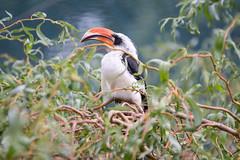 Calao de Decken (◄Laurent Moulin photographie►) Tags: calao de dencken parc animalier zoo zoologique citadelle besancon oieau