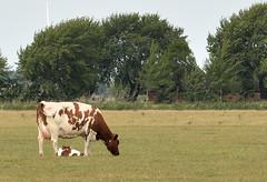 life go's on (Snoek2009) Tags: farm cow calf green groningen schilligeham trees born