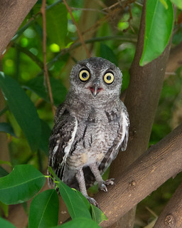 A look at one Western Screech Owlet3