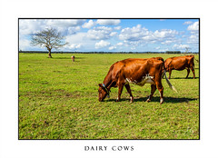 Dairy cows in a greener pastures (sugarbellaleah) Tags: cow dairy farm farmland rural pasture green grass tree sky cloudy pretty lush cattle cows milk australia industry farming agriculture eating scenic animal bovine