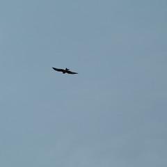 Red kite soaring away, Stratford (Dave_A_2007) Tags: milvusmilvus bird nature redkite wildlife stratfordonavondistrict warwickshire england