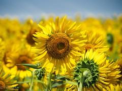 2018 Sunflower #3 (Yorkey&Rin) Tags: 2018 august em5markii flower japan kanagawa kawasaki macro olympus olympusm14150mmf4056ii p8140043 rin summer sunflower ヒマワリ 夏 川崎市 早野 八月 麻生区