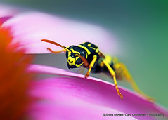 Echinacea Loving Yellowjacket (Gary Grossman) Tags: echinacea wasp flower bee pollen macro summer portland oregon bloom blossom insect garden garygrossmanphotography macrophotography yellowjacket pacificnorthwest