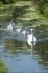 DSC00704 (The Unofficial Photographer (CFB)) Tags: deardiaryjune2018 featheredfriends bushypark royalparks heron ron londonparks