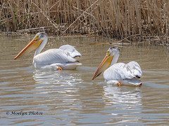 Sub - Adult American White Pelicans - Bear River Migratory Bird Refuge (moelynphotos) Tags: pelican americanwhitepelican large swimming animalsinthewild animalwildlife birdwatching feather younganimal twoanimals bearriver thewest westernus animalrefuge bodyofwater marsh naturalenvironment nature northamerica usa utah water westernusa wetlands wildlifereserve moelynphotos migratorybirdrefuge