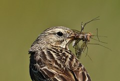 MEADOW PIPIT (markyf50) Tags: