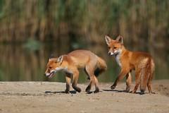 Pair of Red foxes 2394(6D4) (wildlifetog) Tags: ramsarsite red fox renard renardroux herseynaturereserve southeast seaview sssi isleofwight uk mbiow martin blackmore britishisles britain wild wildlife nature canon england european eos6d