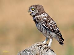 Athene noctua (Mochuelo europeo) (37) (eb3alfmiguel) Tags: aves pájaros rapaces nocturnas strigiformes strigidae mochuelo europeo athene noctua