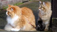 Two beauties, not mine (2) (Cajaflez) Tags: kat katze chat gatto huisdier longhair langharig coth5