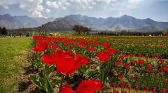 Beauty of Nature with Tulips at Kashmir !!!! (Rambonp:loves all creatures of this universe.) Tags: tulipgardensrinagar srinagar jk kashmir tulips flowers yellow wallpaper red white trees green nature park day india beauty paradise blue canon landscape sky clouds mountains hills hillstation touristplace tourism dallake water ripples boats abandoned silhouette morning