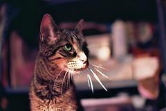 Haku (Jetcraftsofa) Tags: nikonf3 nikkorsc5014 ektar100 35mm slr filmphotography availablelight cat neko haku sunbeam whiskers boop bokeh