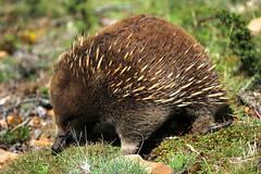 Short-beaked Echidna (Caleb McElrea) Tags: cradlemountainlakestclairnationalpark cradlemountain unesco worldheritagesite tasmaniansouthwestwilderness tasmania wilderness