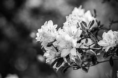 DSC_4769-2 (brianpatrick66) Tags: nikon northcarolina nikond500 nikonphotography nikonphotog dslr d500 fayetteville tam tamron macro macrolens macrophoto tamron90mm 90mm rosegarden fayettevillerosegarden bwphoto blackandwhite blackandwhitephoto nature botanicalgarden capefear capefearbg