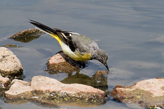 IMG_7807.jpg (TonyJ 3006) Tags: birds greywagtail places slimbridge