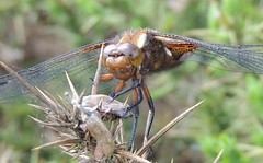 Sunbathing Female (Kevin Pendragon) Tags: broad bodied chaser female mature uk outdoor outdoors two big eyes four wings brown black legs hair nature insect sunbathing sunshine summer