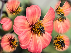Clone Madness. (Omygodtom) Tags: clone odd strange outside red flower flickr elitebugs bee 7dwf 7dwfox nikon70300mmvrlens natural dof nikon lightroom46