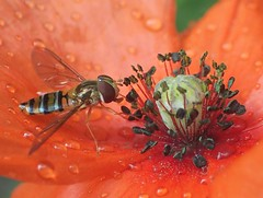 Orange. Marmalade Hoverfly, Episyrphus balteatus, on Papaver rhoeas, Common Poppy, Hortus Botanicus, Amsterdam, The Netherlands (Rana Pipiens) Tags: marmaladehoverfly episyrphusbalteatus papaverrhoeas orange commonpoppy anther stamen pollen flower insect hoverfly hortusbotanicus hortusbotanicusamsterdamthenetherlands raindrop