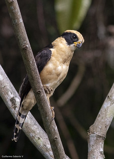 Laughing Falcon_28A8977