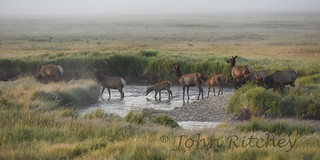 Cow Elk Crossing