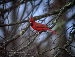 Winter Cardinal (Photographybyjw) Tags: winter cardinal amid raindrops cold wet day north carolina photographybyjw trees branches water rural country bird
