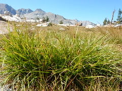 Carex rossii (Matt Lavin) Tags: sierranevada california johnmuirtrail alpine subalpine native perennial bunched sedge cyperaceae meadow carexrossii matforming understory rosssedge twinlakes sawmillpass