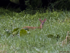 081218151928asmweb (ecwillet) Tags: deer fawn nikon nikond500 nikon200500f56 wildwoodparkharrisburgpa ecwillet ericwillet