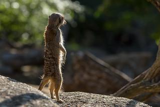 meerkat in the morning sun