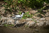 avocet (mal265) Tags: birds nat wildlife rspb blacktoft sands