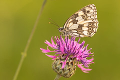 The nectar lover. (Gergely_Kiss) Tags: melanargiagalathea hungarybutterflyspecies meadow somlyófót butterflymacro butterflyonflower insectmacro marbledwhite sakktáblalepke