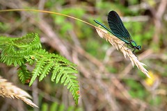 Teal dragonfly (Helene Iracane) Tags: nikon d3100 bretagne libellule nature teal photographie photography insecte insect fern ferns fougère fougères wings wing ailes aile macro bois woods dragonfly dragonflies
