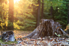 Warm August evening (Marcel Svět) Tags: forrest light sunset sunshine stump hdr canon eos 760d ef 70 200 f4 usm