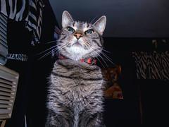 DSC01273 (MykeOwns) Tags: tabbycat tabby cat cats