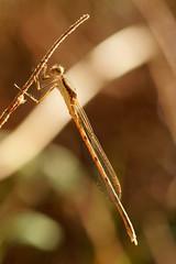 Sympecma fusca 1 (Zygonyx) Tags: pentax k1 dfa100mm macro wr biscarrosse landes atlantique