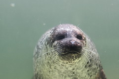 sea lion lithuania (gileshodges) Tags: sea lion wildlife nature animal canon 40d 50mm 18