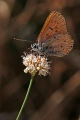 Old and worn Gorgon Copper on Buckwheat flower (edward_rooks) Tags: sierraazulopenspacepreserve bald mountain mount umunhum insects wildflowers butterflies bees wasps assassin bug