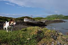 DSC_2940_00001 (Karantez vro) Tags: jack russell terrier dog hund chien scotland west coast ecosse schottland ship wreck 7dwf scozia