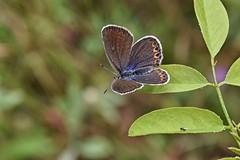 sentiero.farfalle (23) (Guido.C.) Tags: sentiero farfalle gambolò