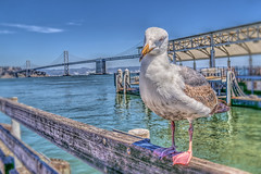 Yes, This is My Best Side (Michael F. Nyiri) Tags: sanfrancisco seagull bird pose baybridge embarcadero california northerncalifornia ocean pacificocean