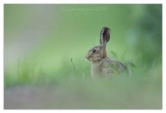 Brown Hare (cheffievrs) Tags: 1dxmarkii bokeh borderfx brownhare canon closetohome cute ef600mmf4lisii lepuseuropaeus leveret mammal nature warwickshire wild wildlife