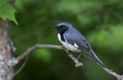 Black-Throated Blue Warbler. (mandokid1) Tags: canon 1dx 600mm birds warblers