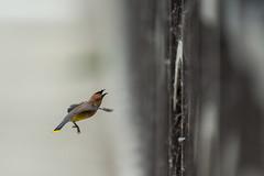 Cedar Waxwing-44025.jpg (Mully410 * Images) Tags: birdwatching birding waxwing bird birds cedarwaxwing birdsinflight birder avian