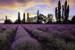 Lavander (Tekila63) Tags: sunset auvergne lavander cloud field flowers