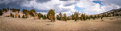 High Res Panorama! Ancient Bristlecone Pine Forest Fine Art Landscape Photography! Thunderclouds Thunderstorm! White Mountains California Fine Art Nature Photos! Sony A7RII & Sony SEL24240 FE 24-240mm f/3.5-6.3 OSS Zoom Lens! Elliot McGucken Fine Art! (45SURF Hero's Odyssey Mythology Landscapes & Godde) Tags: ancient bristlecone pine forest fine art landscape photography breaking summer thunderstorm california mountains white nature photos sony a7rii sel24240 fe 24240mm f3563 oss zoom lens high res panorama thunderclouds elliot mcgucken multishot lightroomstitched