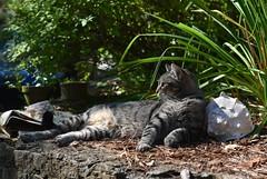 Camille taking it easy (rootcrop54) Tags: camille female mackerel tabby lounging garden neko macska kedi 猫 kočka kissa γάτα köttur kucing gatto 고양이 kaķis katė katt katze katzen kot кошка mačka gatos maček kitteh chat ネコ