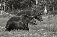 Looking for Goldilocks (DickieK) Tags: ursus ursusarctos bear brownbear finland animal mammal fur family cub mother walking together wild wildlife nature topaz topazblackwhiteeffects