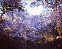(✞bens▲n) Tags: mamiya 7ii velvia 100 80mm f4 film analogue 6x7 japan nagano takato sakura cherry blossoms trees flowers
