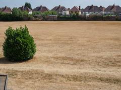 Drought Thurs 26th July-E7250162 (tony.rummery) Tags: brown bush cardwellskeep drought em10 grass mft microfourthirds omd olympus qep summer guildford england unitedkingdom gb
