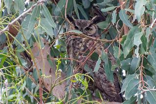 Great Horned Owl (Asio otus)